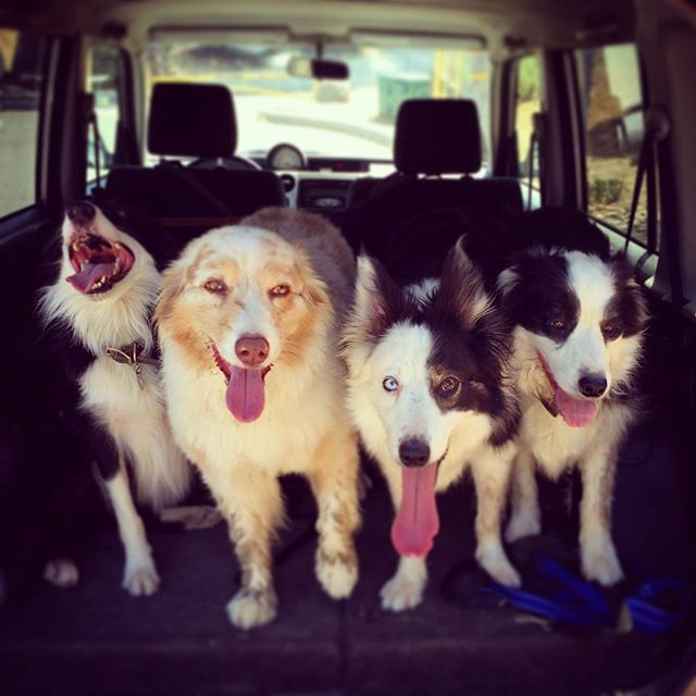 border-collies-australian