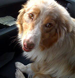 Red Merle Australian Shepherd rescued from pound.