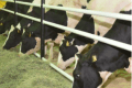 Qatar Airways Cargo transports 4,000 cows to support dairy demand