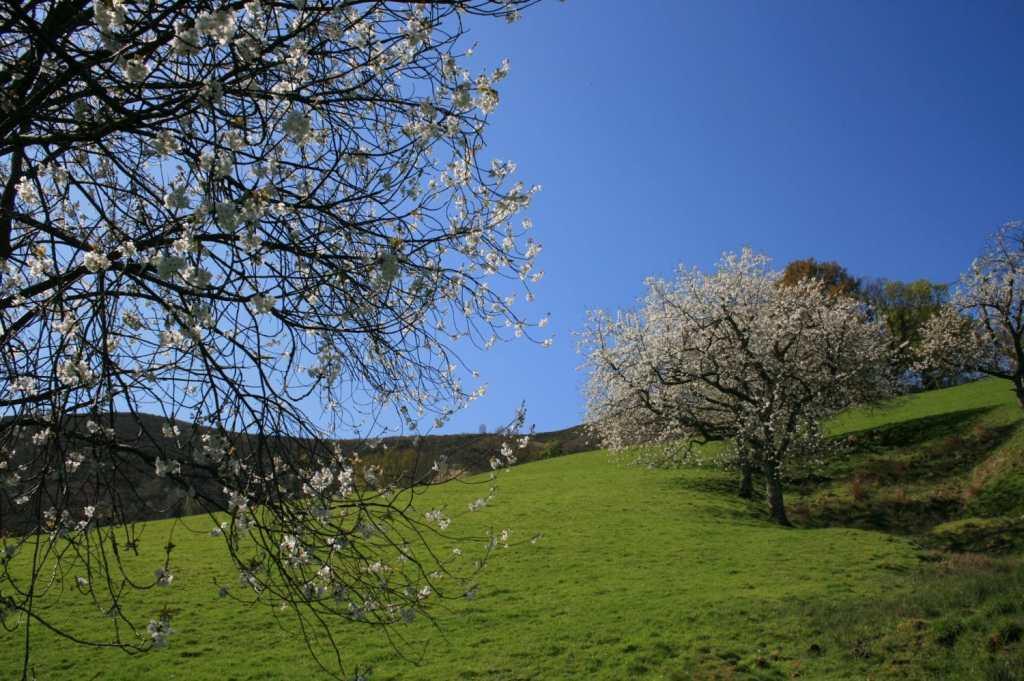 Cerisiers Itxassou
