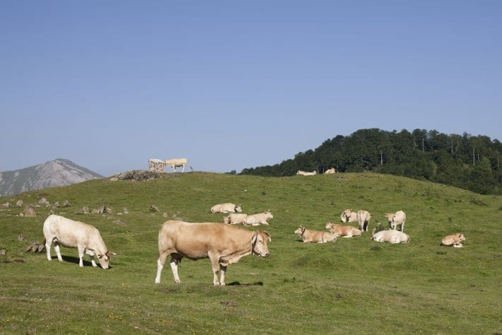 vaches-pays-basque-elevage-nature