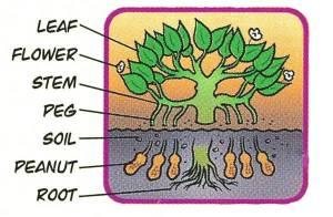Peanut Plant Diagram