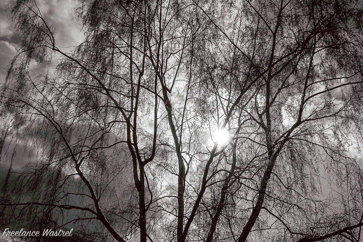 Sun through the silver (birch)