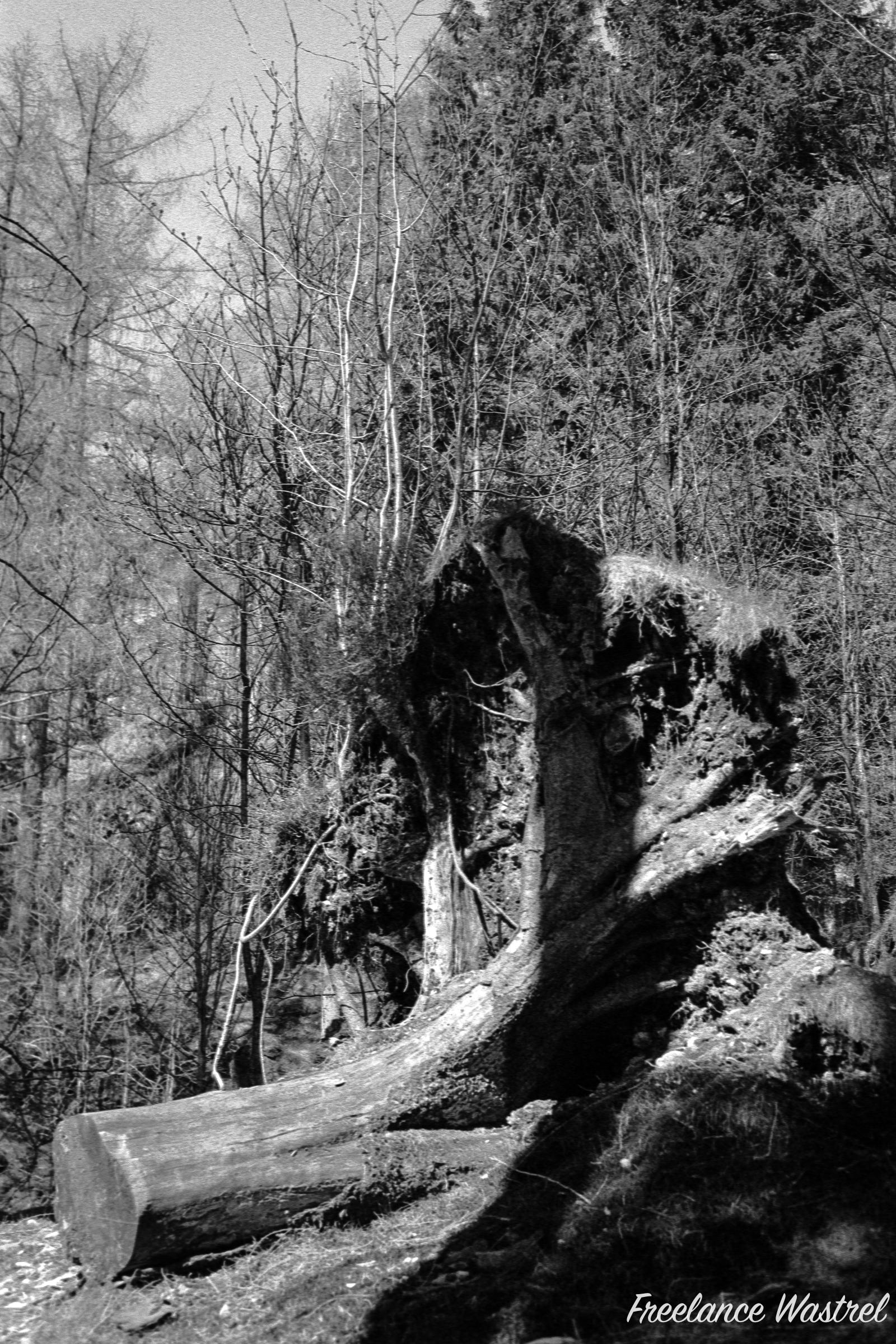 Tree stump, Tarn Hows, April 1998