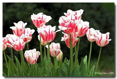 tulips at brookgreen