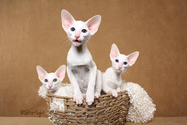 Minghou Oriental Shorthair kittens