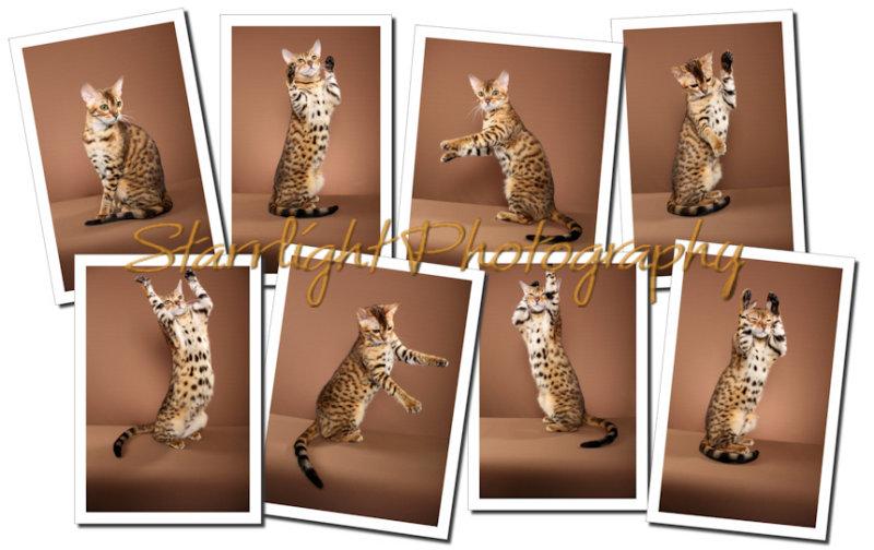 starrlight photo bengal collage