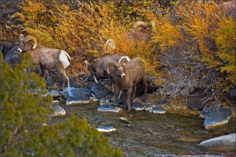 Mountain Goats refreshing at rivers edge