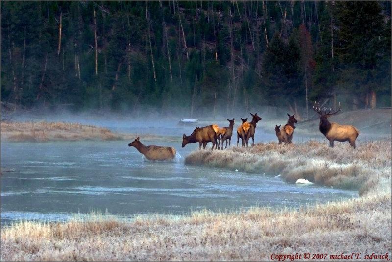 Bull Elk w/harem crossing the river at dawn