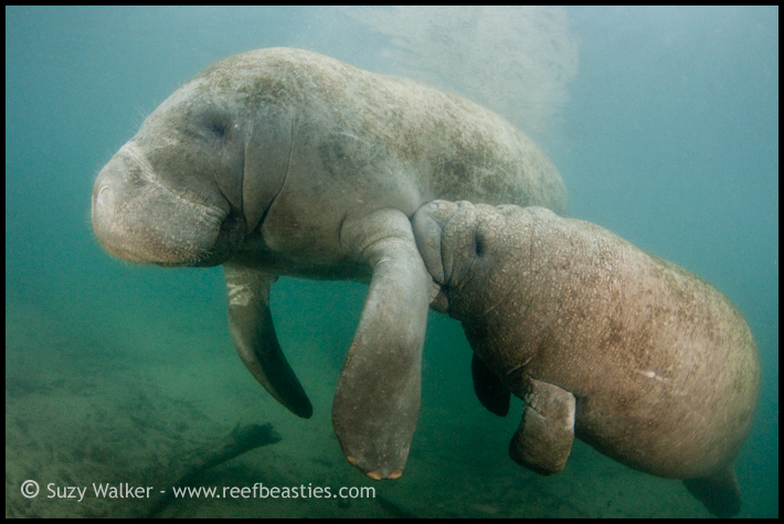 Mum and Baby Manatee