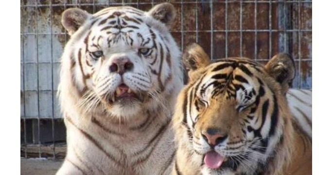 Tiger Down Background Syndrome