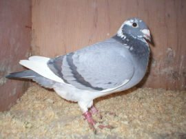 Wittekrop India_Dam of Nest pair