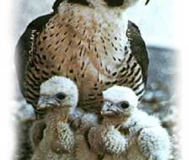 Newly Hatched Peregrines And Their Mother In The Scrape Photo C Bob Anderson