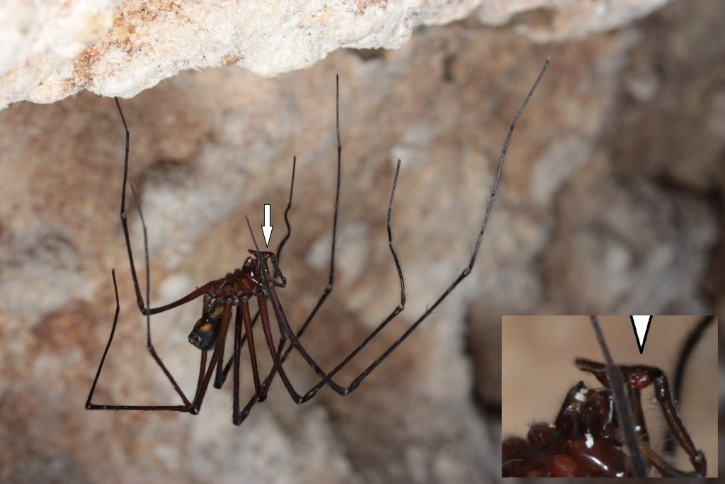 A male Tasmanian cave spider, Hickmania troglodytes, hangs in its natural habitat. The white arrow points to one of its sex organs, a pedipalp.  Photo by  M. J. Ramırez/Courtesy of Elisabeth Lipke.