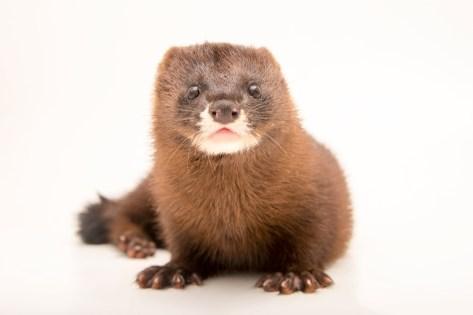 Image result for mink