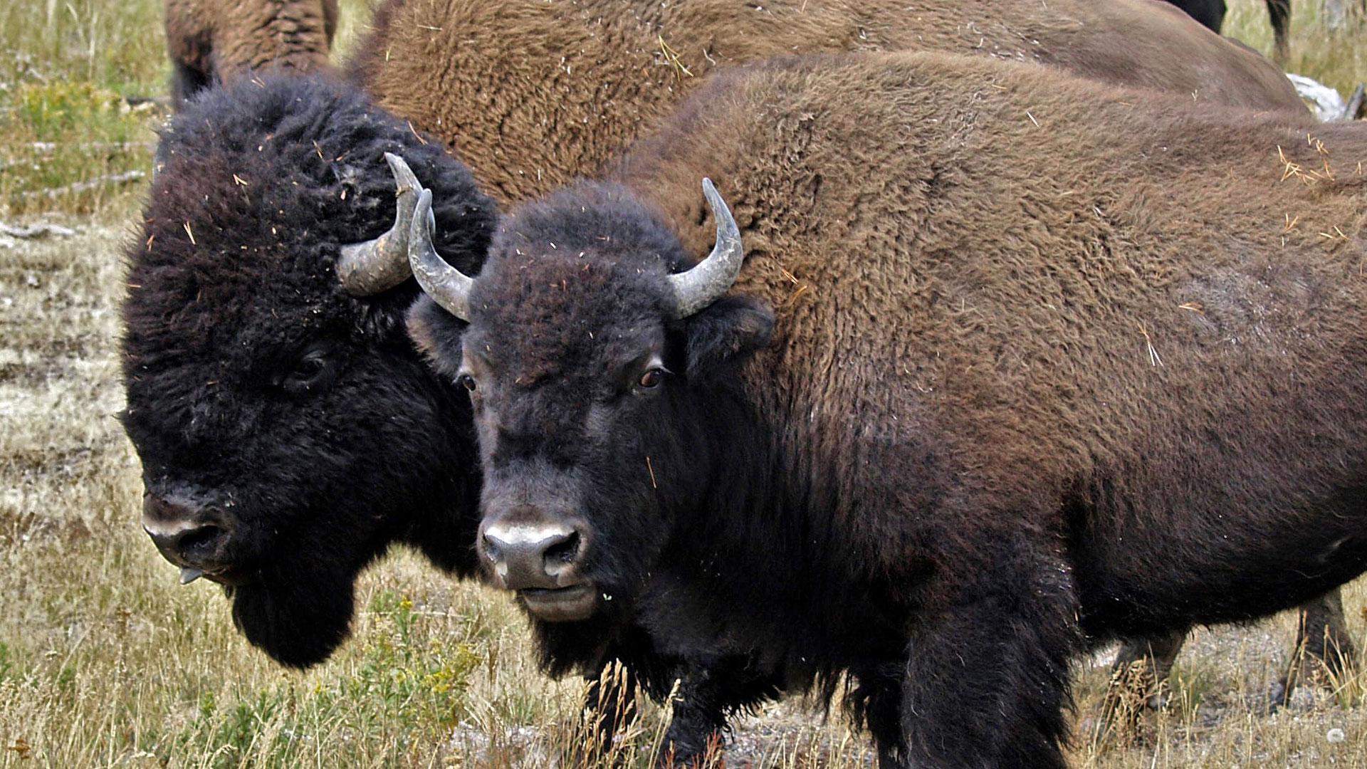 American Buffalo Spirit Of A Nation