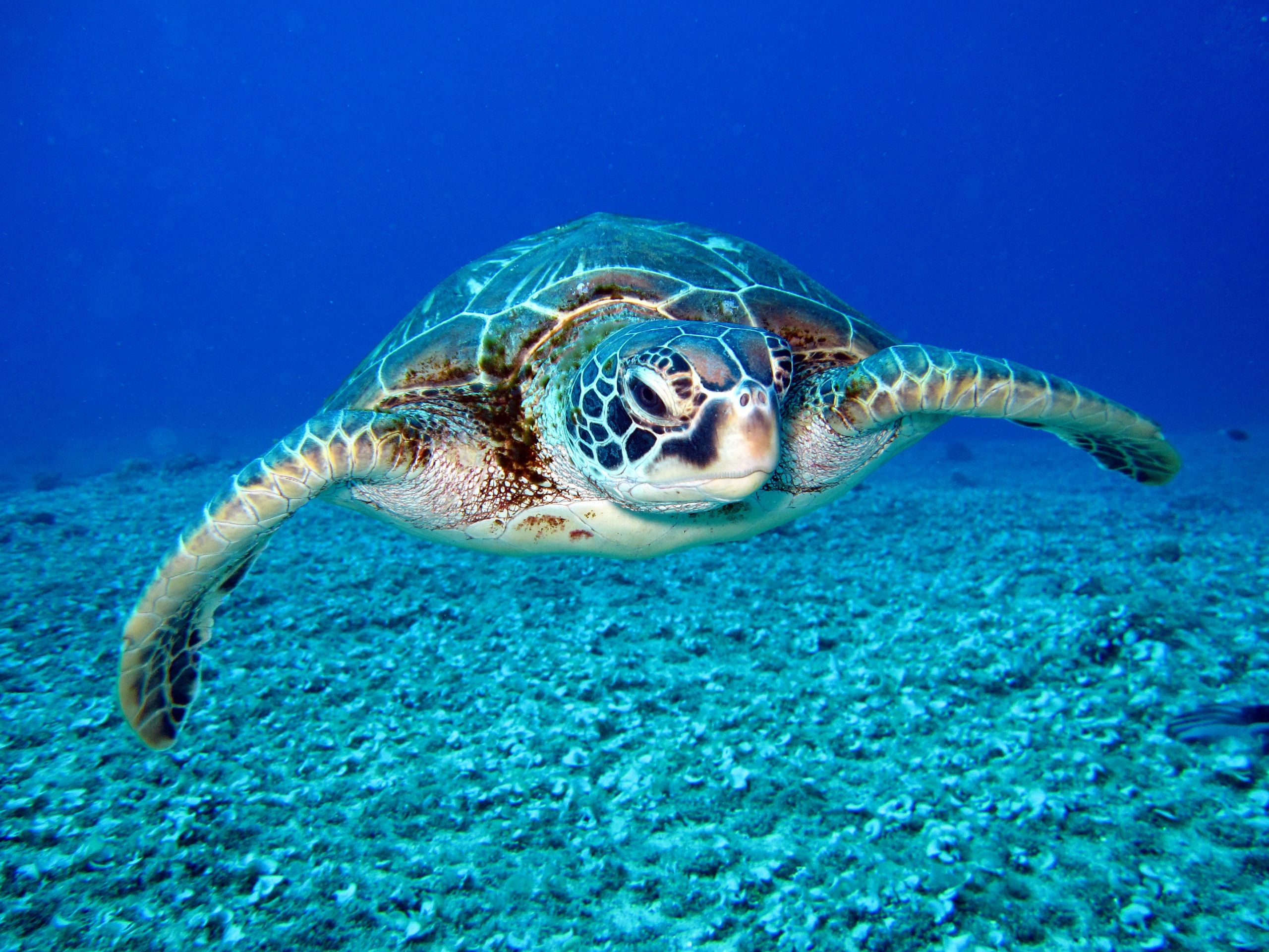 Sea Turtle Fact Sheet Blog Nature Pbs