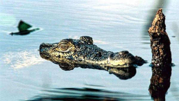 climate change crocodiles decline