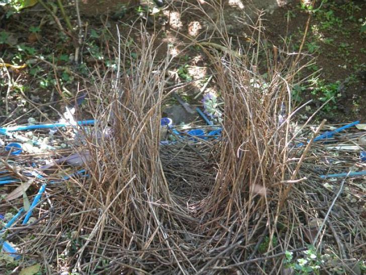 Die Laube des Seidenlaubenvogels; um die Laube sind blaue Strohhalme und Plastikflaschenverschlüsse verteilt