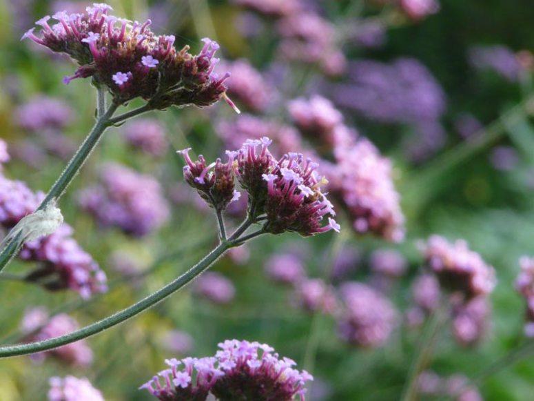 Verbena bonareinsis in Surrey