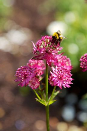 Bee on Astrantia