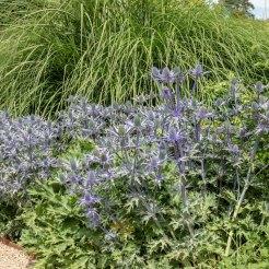 Eryngium, Sanguisorba and Grasses in the Exbury Centenary Garden