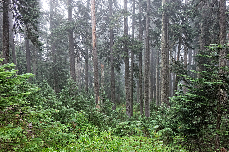 PCT-Pacific-Crest-Trail-Forest-Rain