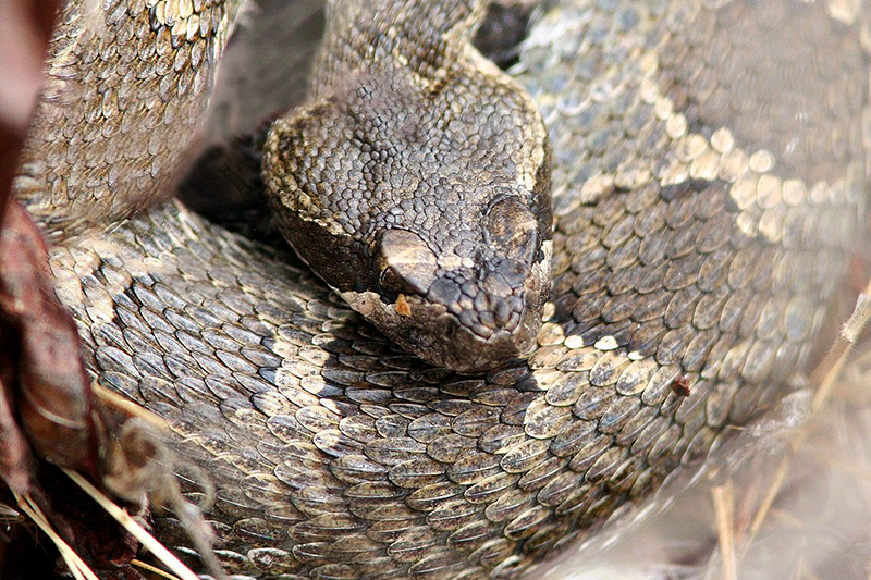 Yes, There Are Rattlesnakes in Oregon!