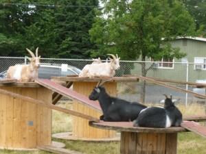 goats on wheels