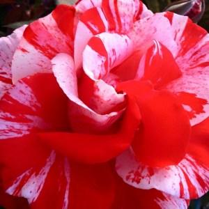 Carlsbad Rose