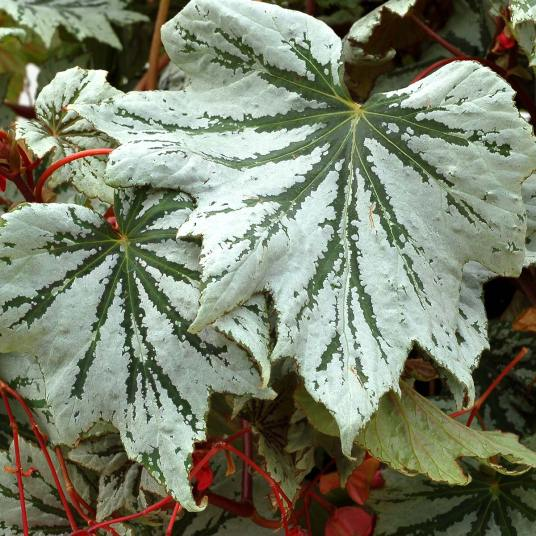 Begonia-Spectre-Silver-1