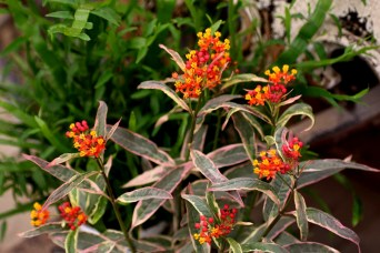 Asclepias-Monarch-Promise-47 HC pic