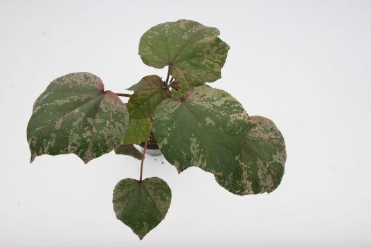 Cotton pink variegated