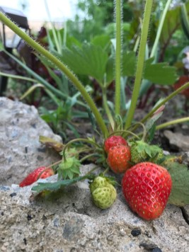 Strawberry on rock