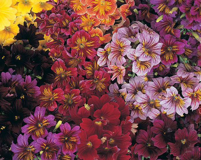 Salpiglossis Royale Mix