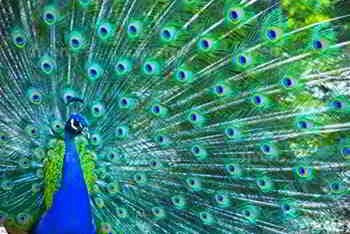 A beautiful picture of a male peacock in full beautiful plumage.