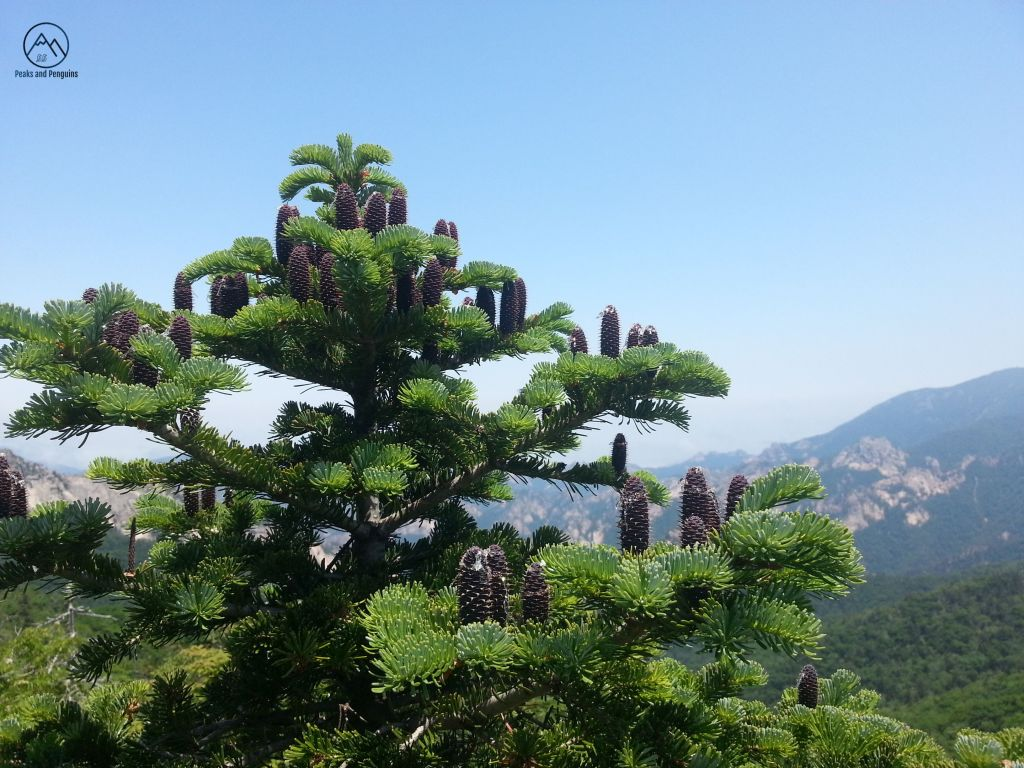 A close-up image of a Korean pine tree. Many long, brown pinecones reach skyward out of its bright green needles. Beyond this lovely tree is a view of the rocky and forested ridges of Seoraksan National Park.