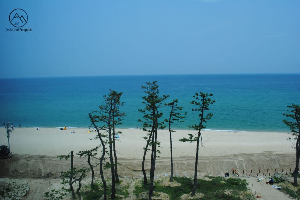 An image of some tall, slender pines in front of a white beach. The sea beyond the beach is a deep blue, darker further towards the horizon. The sky is a paler shade of blue.