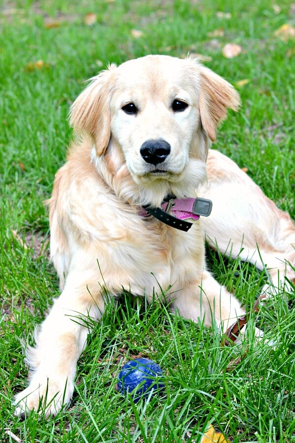 Golden Retriever 2 Months Weight My Top 10 Tips ...
