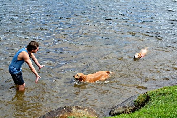 Golden Retrievers Swimming
