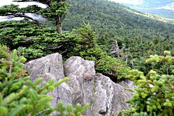 Canadian Fir Zone Grandfather Mountain