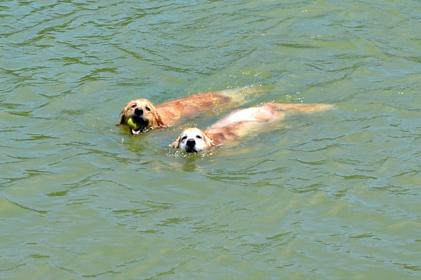golden retrievers swim