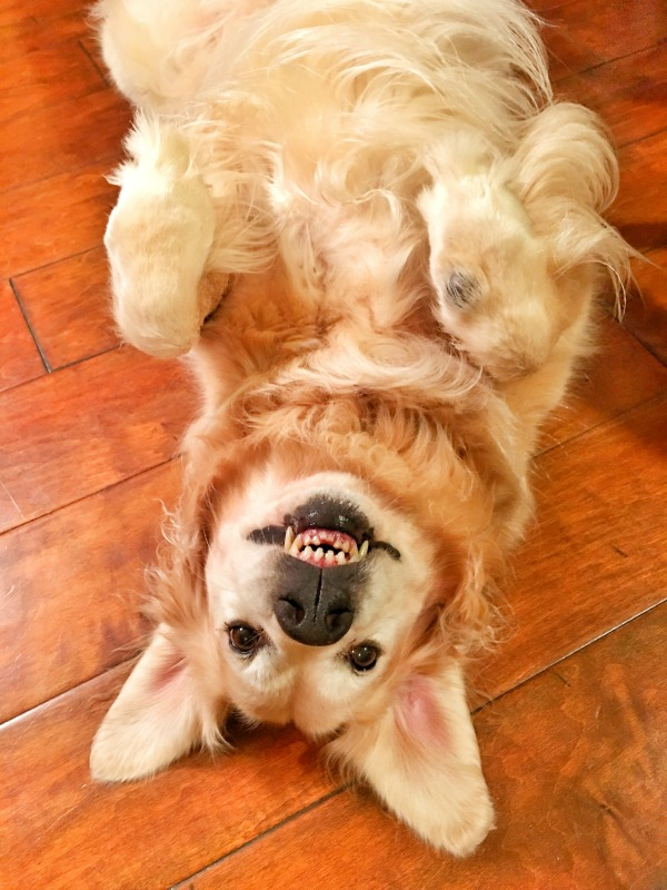 golden retriever upside down