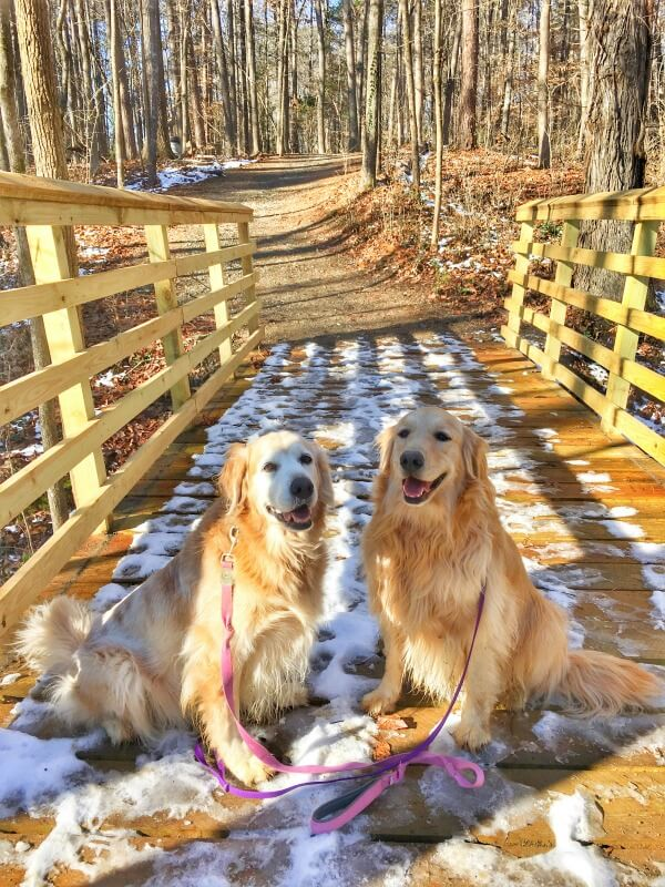golden retrievers walking