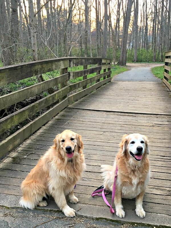 golden retrievers on a walk