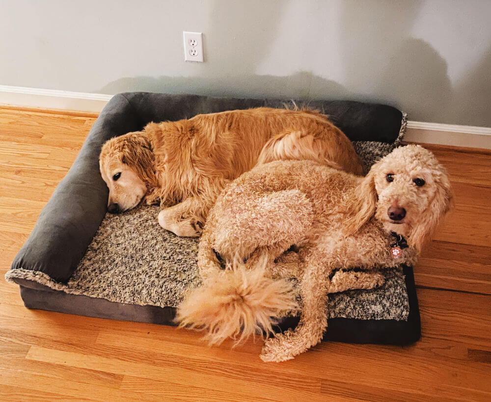 goldendoodle and golden retriever