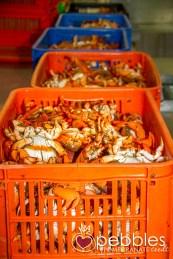 fraser-isle-spanner-crabs6