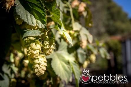 red-hill-brewery-hop-picking16