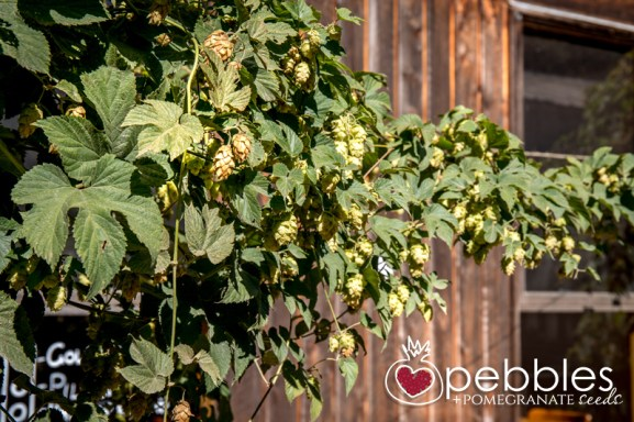 red-hill-brewery-hop-picking18