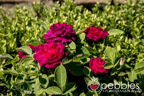 samaria-rose-farm19